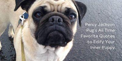 Percy Jackson Pug headshot while walking his owner